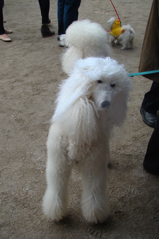 Two-headed poodle