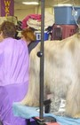 Backstage Beauty at Westminster Dog Show