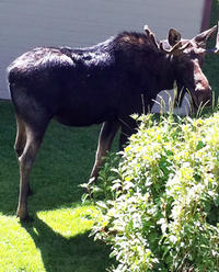 Ready for his close-up: Sharon's bull moose visitor at her vacation place-- his family followed later!